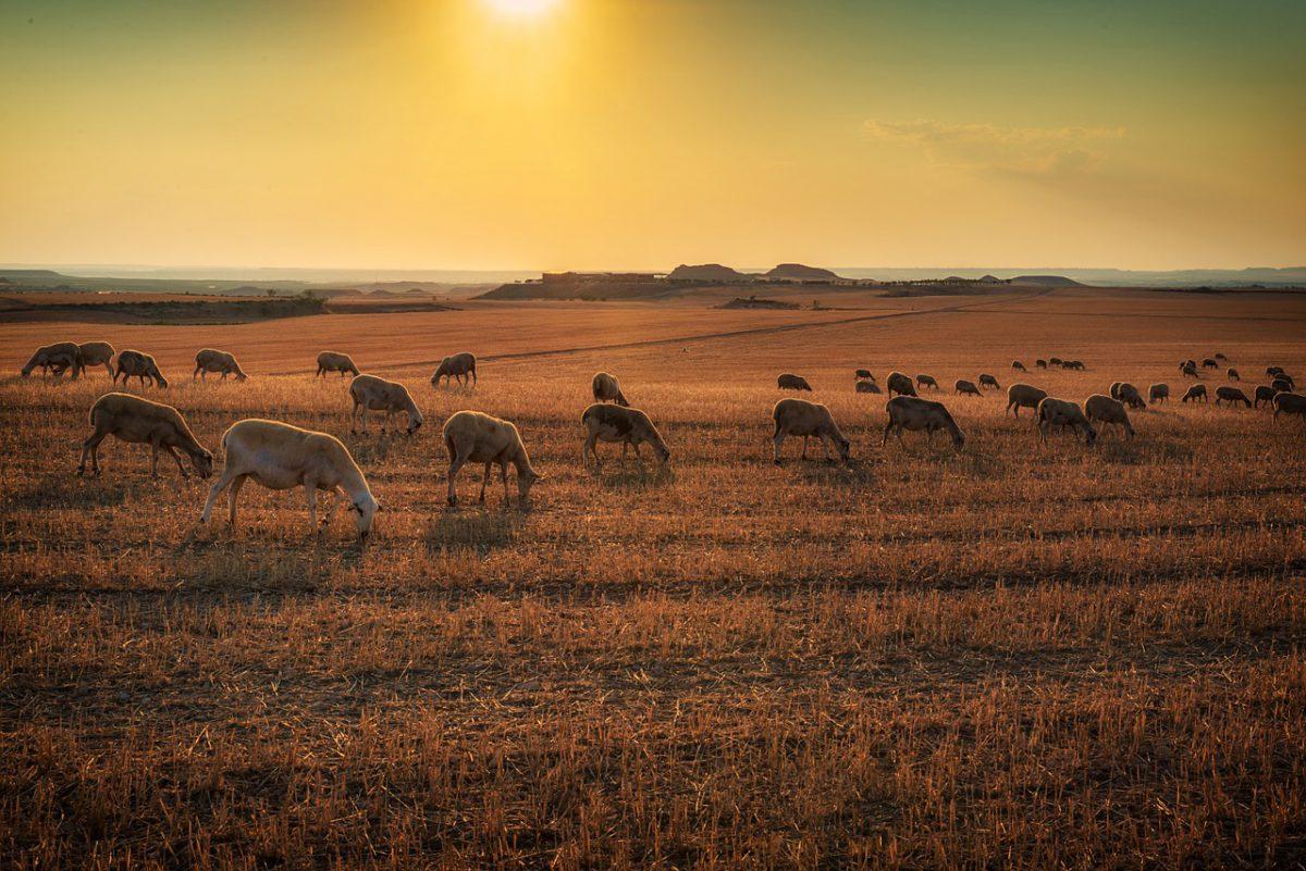 Turma de oi in apus de soare