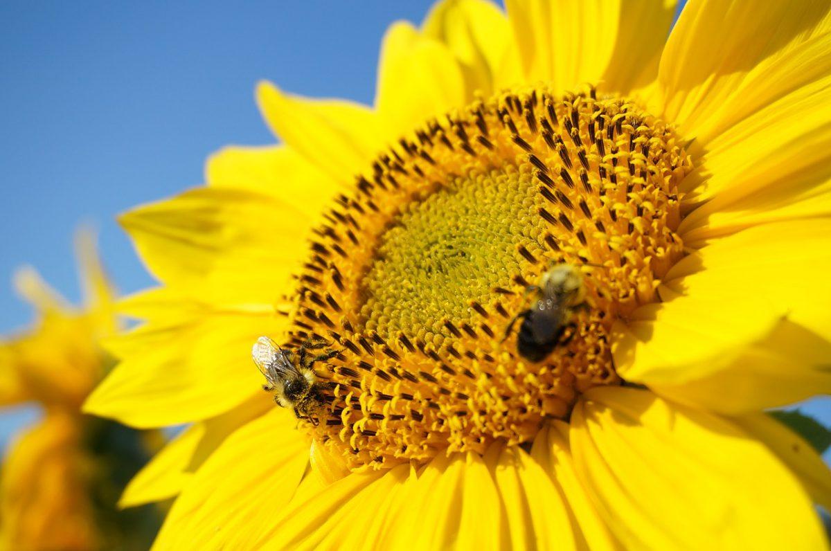Albine pe floarea soarelui